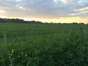 Ekologiniai pluoštinių kanapių laukai Lietuvoje 2014